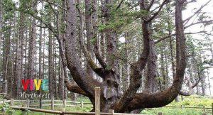 Lee más sobre el artículo ¿Se le puede pedir más a la naturaleza de Oregon? Qué tal un árbol con forma de pulpo